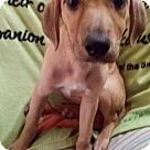 Adopt A Pet :: Carly--URGENT