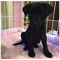 Adopt A Pet :: Pug pups - Bernardston, MA