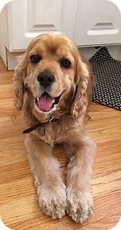 Cocker Spaniel Mix Dog for adoption in Santa Monica, California - Toby
