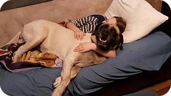English Mastiff Dog for adoption in Norwood, Georgia - Lucy
