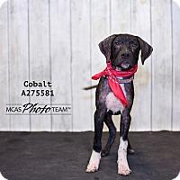 Adopt A Pet :: COBALT - Conroe, TX