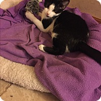 Domestic Shorthair Cat for adoption in Sterling Hgts, Michigan - Fiona