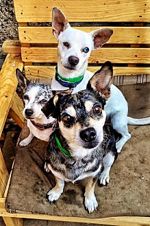 Chihuahua Mix Dog for adoption in Los Angeles, California - Audrey, Hank, Waulon