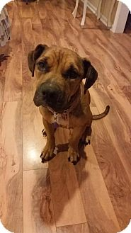 Boxer/Hound (Unknown Type) Mix Dog for adoption in Rowayton, Connecticut - HUMMER Calm Cat-Friendly Girl