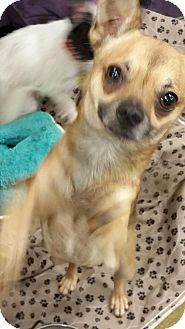 Chihuahua Dog for adoption in Anderson, South Carolina - ROCKY
