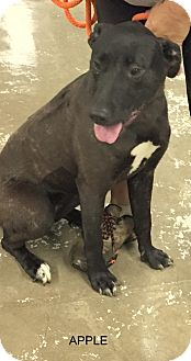 Labrador Retriever Mix Dog for adoption in Hibbing, Minnesota - Apple
