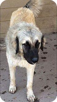 Great Pyrenees/Anatolian Shepherd Mix Dog for adoption in Kyle, Texas - Solomon