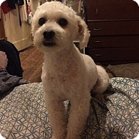Poodle (Miniature)/Maltese Mix Dog for adoption in Alhambra, California - Blaze