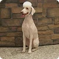 Adopt A Pet :: Maurya - River Falls, WI