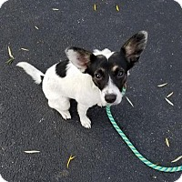 Rat Terrier Mix Puppy for adoption in Plainfield, Illinois - Irene
