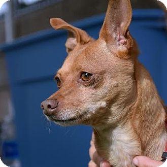Chihuahua Mix Dog for adoption in Denver, Colorado - Kemah