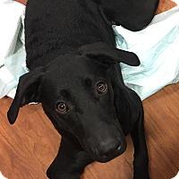 Adopt A Pet :: Chelsey - Lyndhurst, NJ