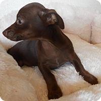 Chihuahua Puppy for adoption in Yucaipa, California - chocollatey