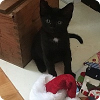 Domestic Shorthair Kitten for adoption in Tega Cay, South Carolina - Sylvester