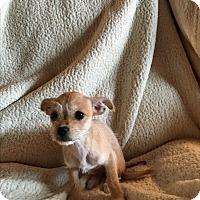 Adopt A Pet :: Lilo - Sun valley, CA