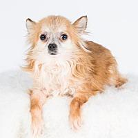 Adopt A Pet :: Santana - St. Louis Park, MN