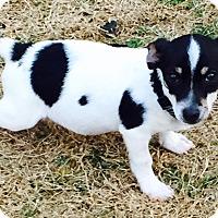 Adopt A Pet :: Spot - Mesquite, TX