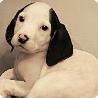 Adopt A Pet :: Griffon (Legendary Creatures) - Frederick, MD