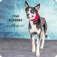Adopt A Pet :: CHAT - Conroe, TX