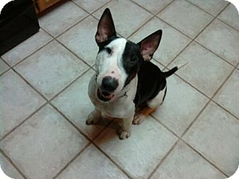 Bull Terrier Dog for adoption in Sachse, Texas - Oreo
