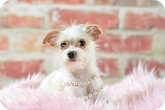 Chihuahua/Yorkie, Yorkshire Terrier Mix Dog for adoption in Chicago, Illinois - Roxy
