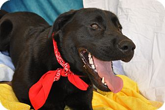 Labrador Retriever/Shepherd (Unknown Type) Mix Dog for adoption in Phoenix, Arizona - Inky