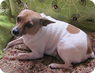 Rat Terrier Dog for adoption in Tombstone, Arizona - Tequta