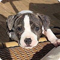 Adopt A Pet :: MORE PUPPIES! - Reisterstown, MD