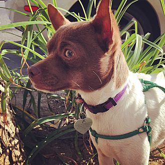 Fox Terrier (Smooth)/Chihuahua Mix Puppy for adoption in North Hollywood, California - Wilbur