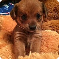 Adopt A Pet :: MISS SCARLETT - Higley, AZ