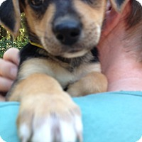 Adopt A Pet :: Basil - Gig Harbor, WA