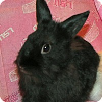 Lionhead Mix for adoption in Walker, Louisiana - Bonnet