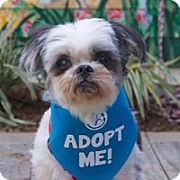 Adopt A Pet :: Cami Shih Tzu - Pacific Grove, CA