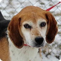 Treeing Walker Coonhound Mix Dog for adoption in Liberty Center, Ohio - Clyde