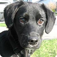 Adopt A Pet :: Jersey - Schaumburg, IL