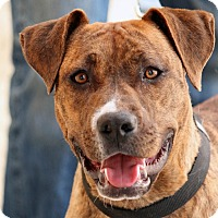 Pit Bull Terrier Mix Dog for adoption in Palmdale, California - Glenda