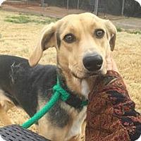 Beagle Mix Dog for adoption in Sedona, Arizona - Prema