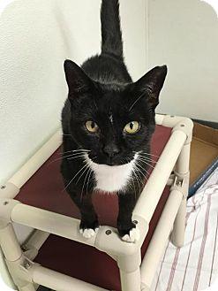 Domestic Shorthair Cat for adoption in Manteo, North Carolina - Juneau