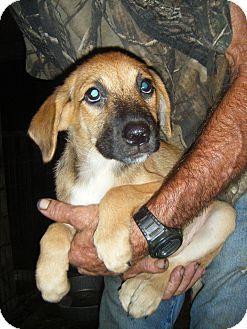 German Shepherd Dog/Australian Cattle Dog Mix Puppy for adoption in Mansfield, Texas - Katie