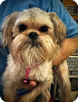 Brussels Griffon Dog for adoption in Memphis, Tennessee - Gracie