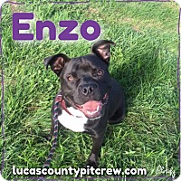 American Pit Bull Terrier/Boxer Mix Dog for adoption in Toledo, Ohio - Enzo