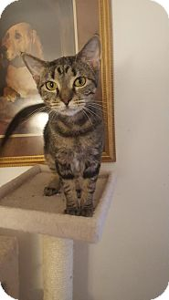 Domestic Shorthair Cat for adoption in Baltimore, Maryland - Daisy
