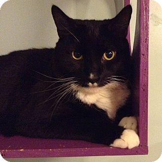 Domestic Shorthair Kitten for adoption in Brimfield, Massachusetts - BB