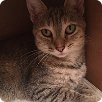 Domestic Shorthair Cat for adoption in Greenville, North Carolina - Abby