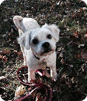 Maltese Dog Rescue Nj