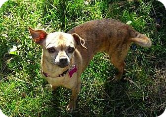 Chihuahua Dog for adoption in Fairfield, Ohio - Squeaky