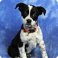 Adopt A Pet :: DENISE - Westminster, CO