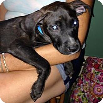 Labrador Retriever/Pit Bull Terrier Mix Puppy for adoption in North Brunswick, New Jersey - Delilah