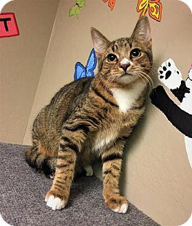 Domestic Shorthair Kitten for adoption in Tempe, Arizona - Bobbie