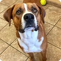 Boxer Mix Dog for adoption in Joplin, Missouri - Marco 108196